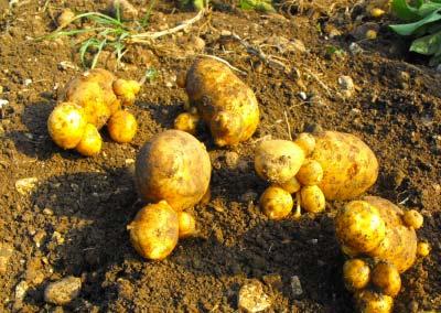 04 patate